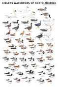 Sibley's Waterfowl of North America