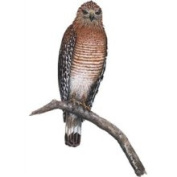 Walls of The Wild 80123 Hawk Wall Decal