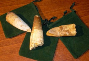 Dinosaur Tooth - 1 Genuine Spinosaurus Fossil Tooth - Extra Large!