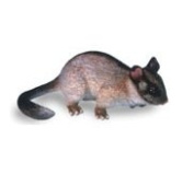 Science and Nature 75457 Large Leadbeater's Possum - Animals of Australia Realistic Toy Replica