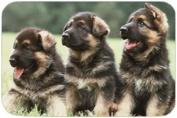 German Shepherd Puppies Tempered Cutting Board