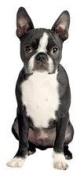 Paper House M-0370E 6-Pack Die Cut Refrigerator Magnet, Boston Terrier