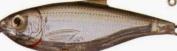 Koppers Sardine Scaled Salt Water Lure, 7.6cm , Suspend, Ghost/Natural