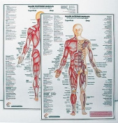Power Systems Major Anterior Muscle Chart