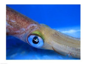 PVT/Superstock SAL1565111 Close-up of a squid underwater -24 x 18- Poster Print