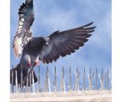 Bird B Gone Inc. B44 BBG200056 Plastic Bird Spike 12.7cm . W X 182.9cm . D X 12.1cm .