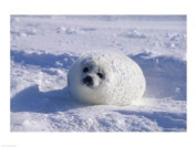 PVT/Superstock SAL1370543 Harp Seal -24 x 18- Poster Print