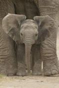 Pyramid International Elephant, Big Ears Maxi Poster