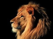 Lion King Large A3 Photo Picture Print 16x11 Poster