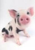 Kune Kune Pig Crazy Eyes Card, Birthday, Anytime Card