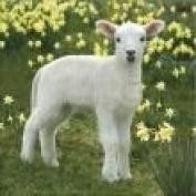 Lovely Easter Little Lamb Card