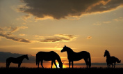 Horses at Sunset Large A3 Size (42 x 25 cm) Canvas Photo Poster Scene View