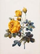 """""""The World of beautiful flowers Redoute"""" COSMO cross stitch kit No.804 Rosa Hemisuferika"""