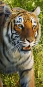 Bengal Tiger Towel Wildlife Endanger Tiger Life of Pi Beach Towel TKA