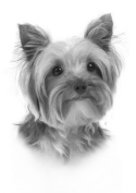 Yorkshire Terrier Drawing Print Picture.