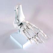 Medical Anatomical Skeleton Foot Model, Life Size