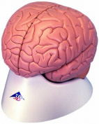 3B Scientific Introductory Brain 2 Part