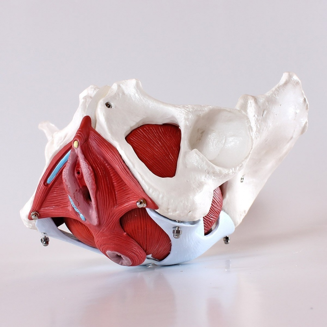 Medical Anatomical Female Pelvis Model With Removable Organs 6 Part