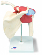 3B Scientific Deluxe Functional Shoulder Joint Model