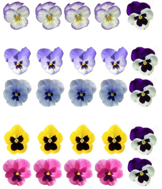 25 Mixed Colour Pansy Flower Edible Wafer Paper Cake Toppers