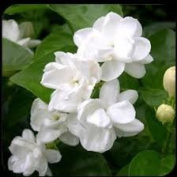 Jasmine 30ml Fragrance Oil