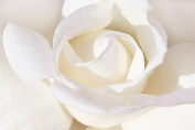 LARGE WHITE ROSE FLORAL CANVAS ARTWORK 80cm X 50cm mounted and ready to hang