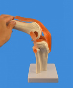Skelett24.de Knee Joint Model