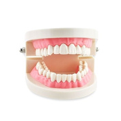 Dental Power 1 Piece Dental Dentist Flesh Pink Gums Standard Teeth Tooth Teach Model US Stock