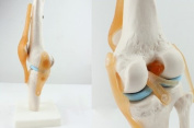 Human 1:1 Size Knee Joint Simulation Model Medical Anatomy Type:YR-H-XC-111