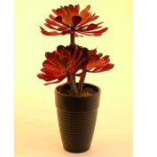 Europalms 28 cm Aeonium Plant, Dark Red/Green