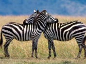Zebra 8x10 High Quality Photo