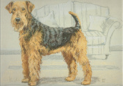 Airedale Terrier Print, Airedale Terrier Picture, Limited Edition Airedale Terrier Print By David Thompson DT26