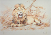 Lion Print, Lion Picture, Limited Edition Lion Print By David Thompson DT17