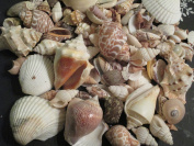 Premium Mixed Seashell Assortment for All Your Beautiful Projects 0.5kg, Our Best Seashell Mix