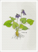 Botanical Illustration of Wild Violet from the Wildflowers Group, High Quality Giclee Print, 18cm X 24cm