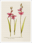 Botanical Illustration of the Grass Pink Orchid, High Quality Giclee Print, 18cm X 24cm