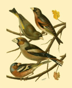 Liebermans OWP47170D Domestic Bird Family II - Poster by Rutledge 8x10