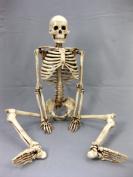 Skeletons and More SM185A Aged 90cm . Harvey Jr. Skeleton