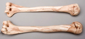 Skeletons and More SM374DRA Aged Right Humerus Bone