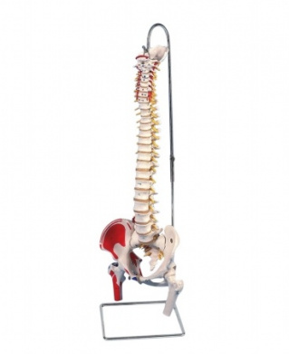 3B Scientific A58/3 Durable Flexible Spine Anatomy Model