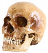 S24.5074 Human skull for decoration, 2 part