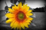 Urparcel Sunflower Art Wall Decor Beautiful Picture to Frame