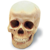 Skullduggery 0201-1 Human Female Skull With Stand