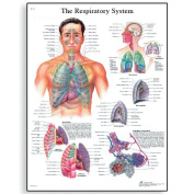 3B Scientific The Respiratory System Chart