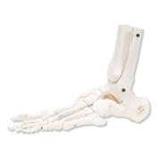 3B Scientific Loose Foot and Ankle Skeleton Model