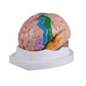 Anatomy Model - Brain Model, Life-size Colourful Brain; ('Card