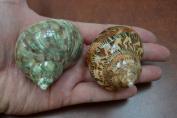 2 Pcs Pearl Green and Petholatus Shell Hermit Crab 5.1cm - 6.4cm