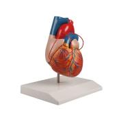 Heart Model Life Size Bypass Heart Anatomy Model with 3 Bypässen