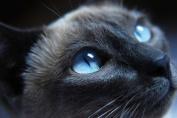 Blue Eyed Cat - Art Print Poster,Wall Decor,Home Decor