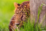 Cheetah Ambush - Art Print Poster,Wall Decor,Home Decor